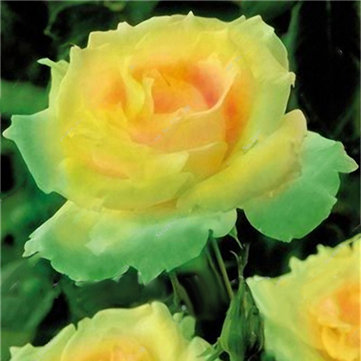 Egrow 100 Pcs Garden Rose Seeds