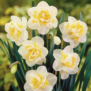 Egrow 100 pcs Aquatic Daffodil Seeds