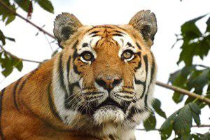 Adopt a Tiger including Tickets to Paradise Wildlife Park