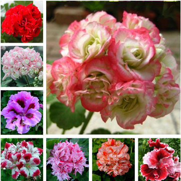 Egrow 100 PCS Geranium Seed Garden Potted Flower Seeds
