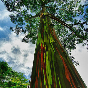 Egrow 40pcs Rainbow Eucalyptus Seeds