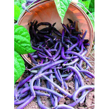 20Pcs Purple Long Pole Bean Seeds