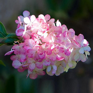 50Pcs Vanilla Strawberry Hydrangea Flower Seeds Planting Flower Bonsai Tree Seeds